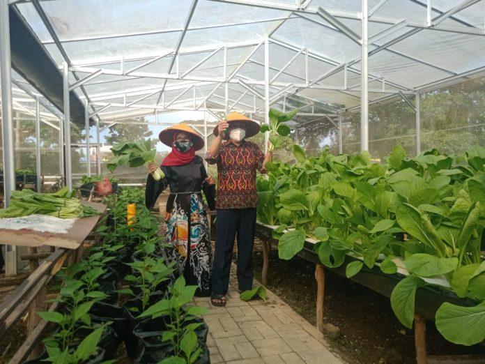 Wakil Walikota Metro Lampung Panen Sayuran Hydroponik Di Green House TMII