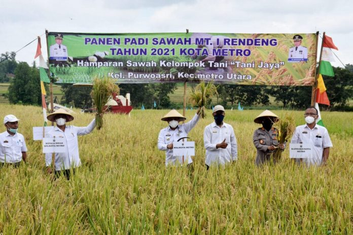 Walikota Metro Lampung Mengikuti Panen Padi Sawah MT. I Rendeng Secara Simbolis